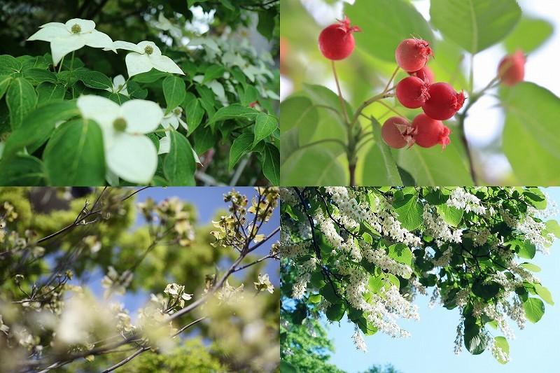 落葉樹ハナミズキ・ヤマボウシ・ジューンベリー・エゴノキ