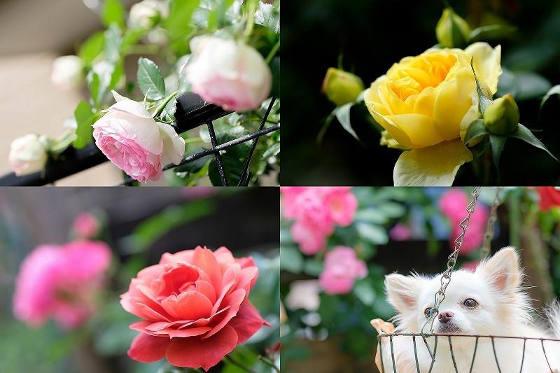 薔薇ホットココア・アンジェラ・ピエール ドゥ ロンサール・モリニュー