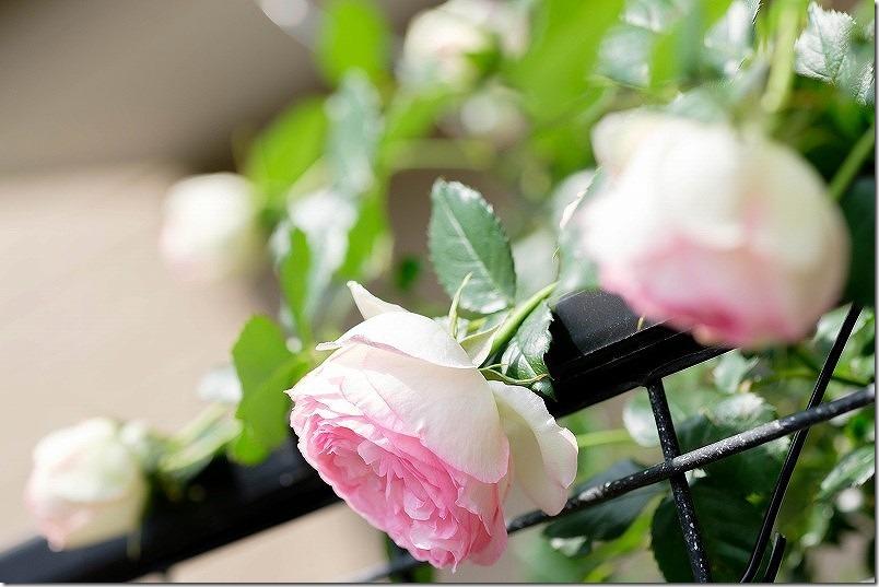 ツル薔薇ピエールドゥロンサール