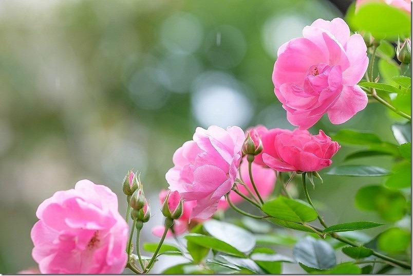 ツル薔薇アンジェラ