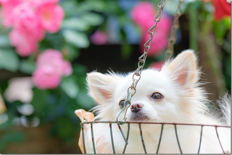 4月に咲いたクレマチスと薔薇の庭,チワワ犬