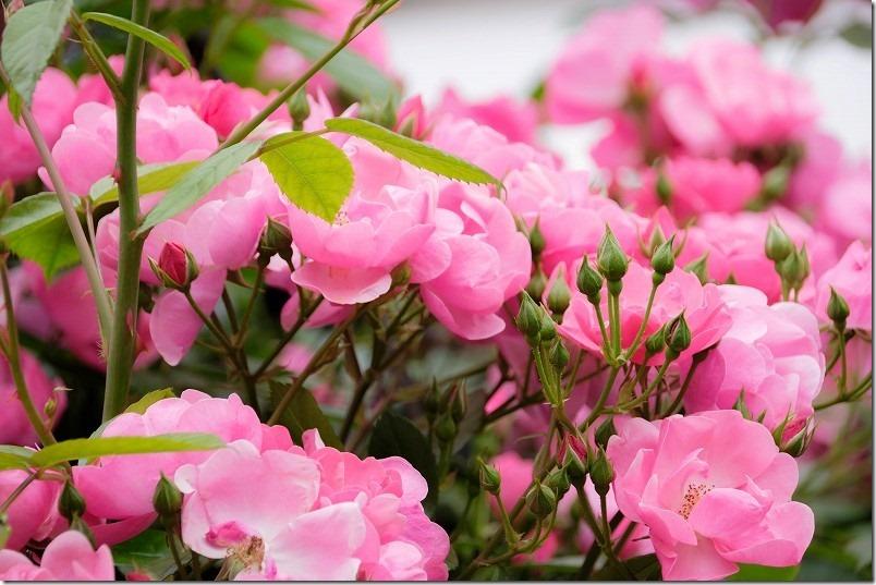 ツル薔薇アンジェラ、綺麗なピンク