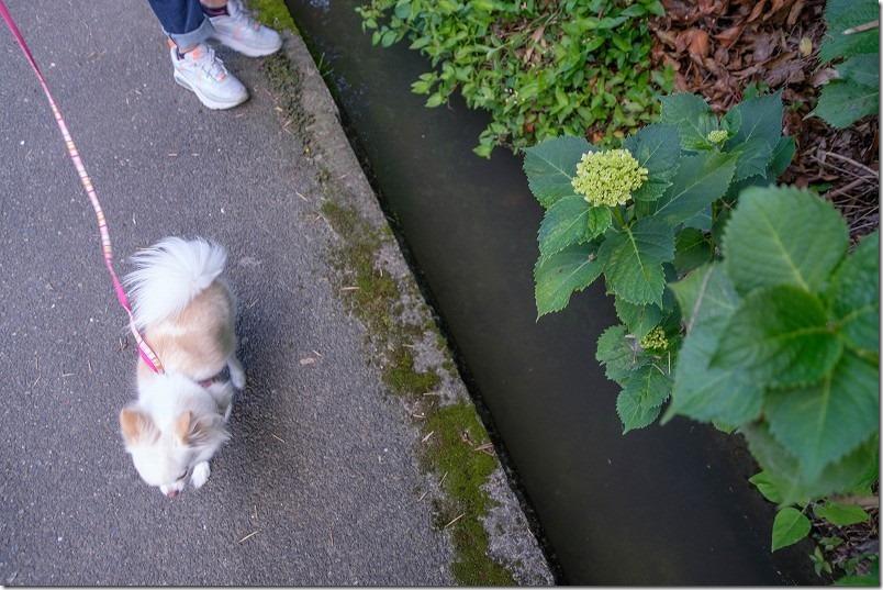 脇山中央公園の周辺を犬と子供と散歩、紫陽花