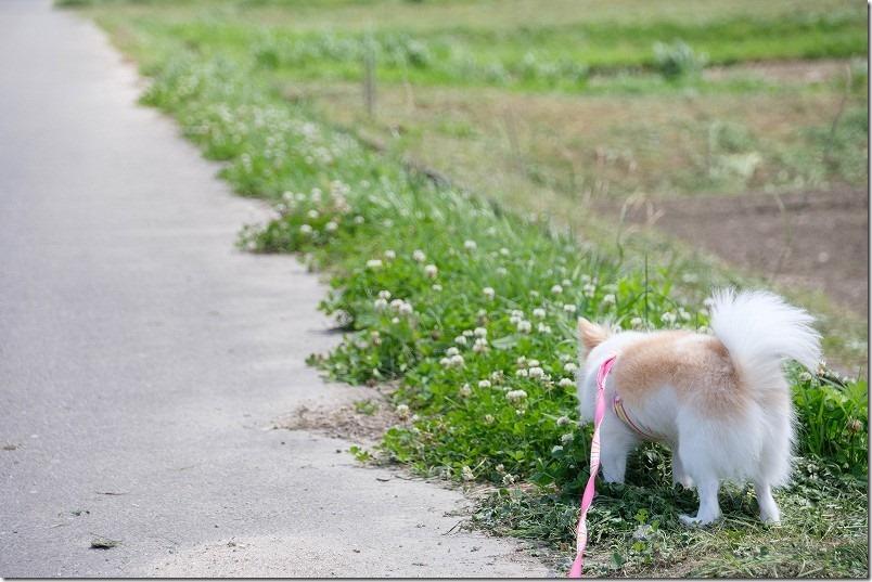 脇山中央公園の周辺を犬と散歩、クローバーと犬