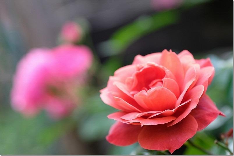 ブッシュ樹形(木立性)、薔薇ホットココア