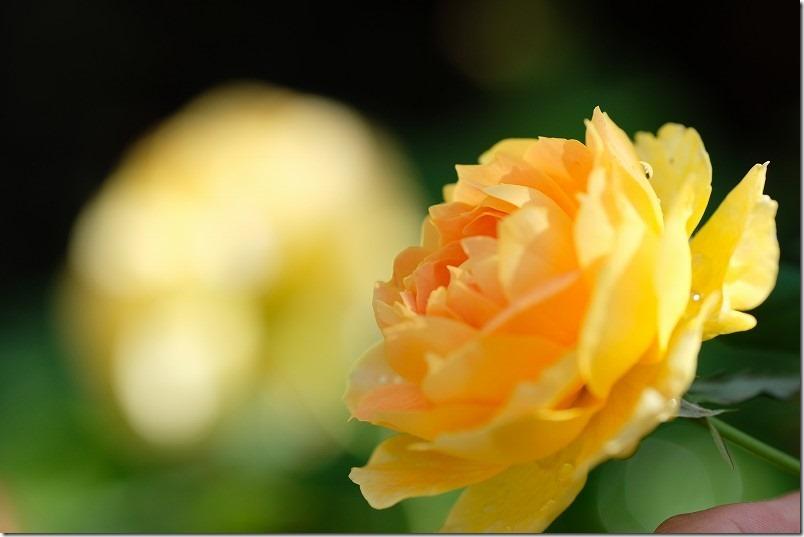 ブッシュ樹形(木立性)、薔薇モリニュー。オレンジ