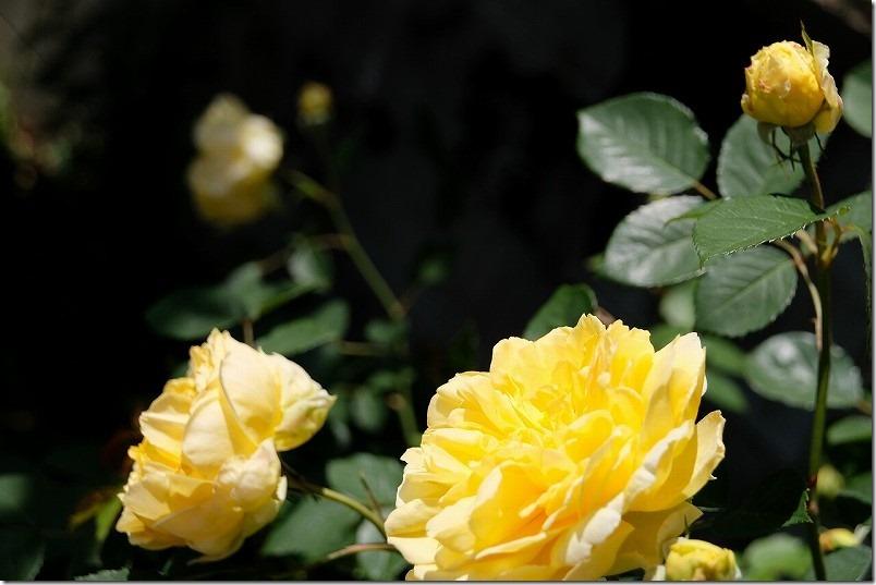 ブッシュ樹形(木立性)、薔薇モリニュー