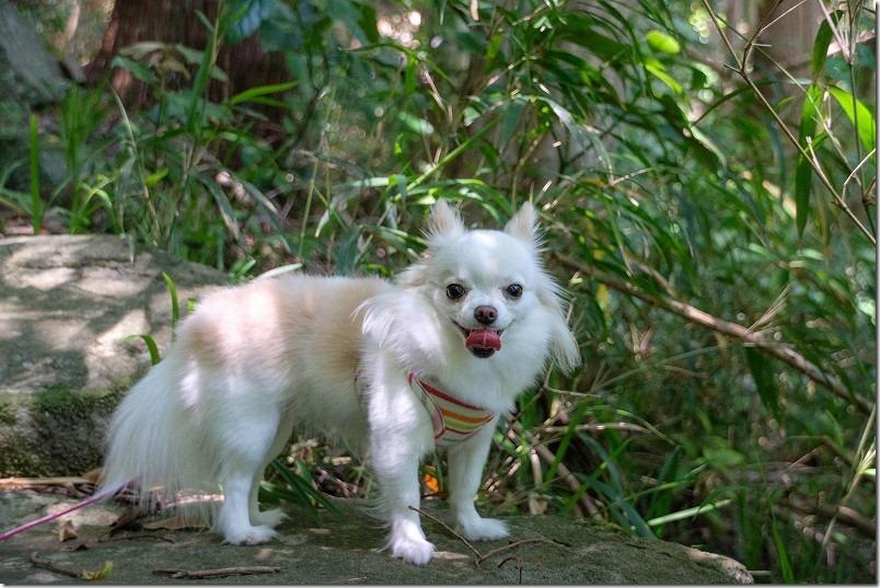 チワワ・犬の「こむぎ」トリミング・カット前