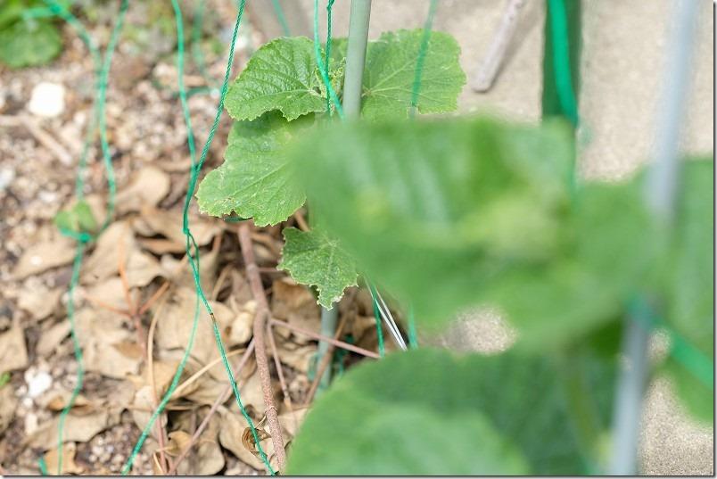 生育一ヶ月「きゅうり」なるなるZUTTOとサントリー本気野菜