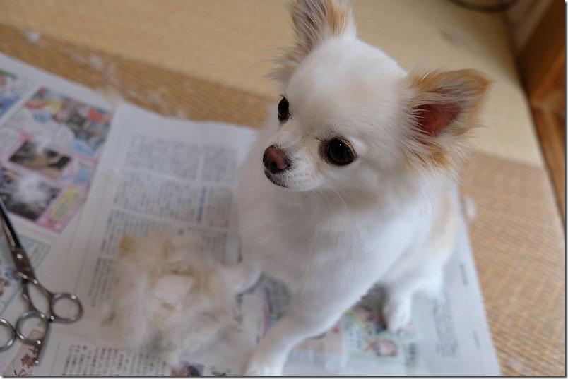 チワワの「こむぎ」犬のトリミング・カット、さっぱり