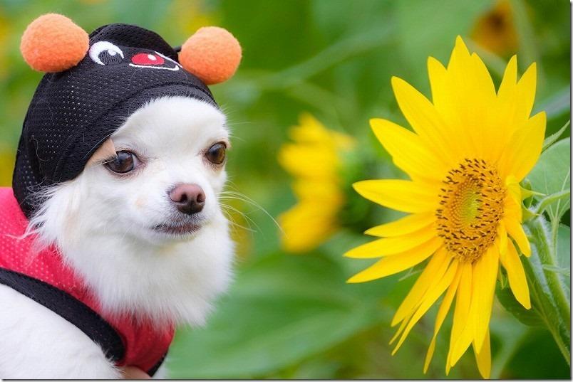 糸島高祖の「ひまわり畑」、チワワ(犬)と「ひまわり」