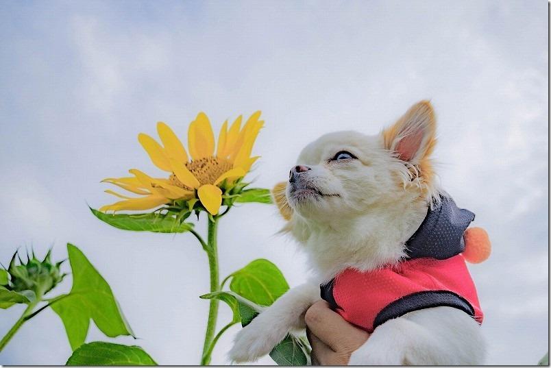 ひまわりと犬(チワワ)