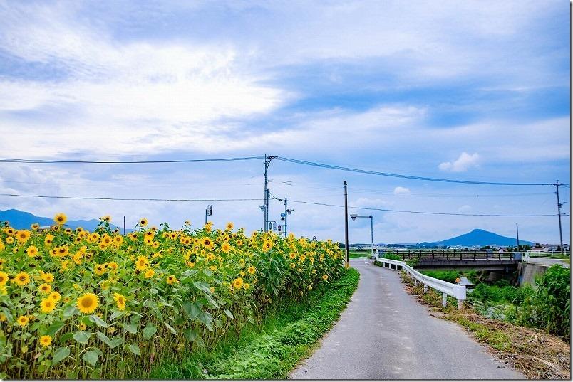 糸島高祖の「ひまわり畑」