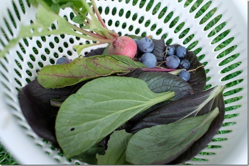 家庭菜園でラディシュ、ベビーリーフを収穫