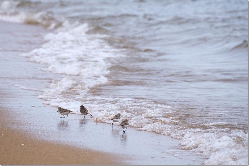 福浜海岸の鳥、チドリ
