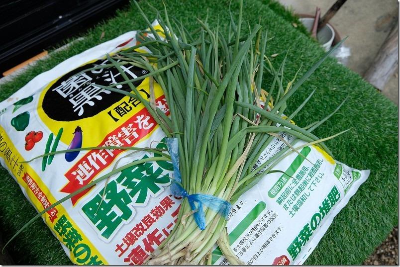 下仁田ネギの苗を植える、堆肥