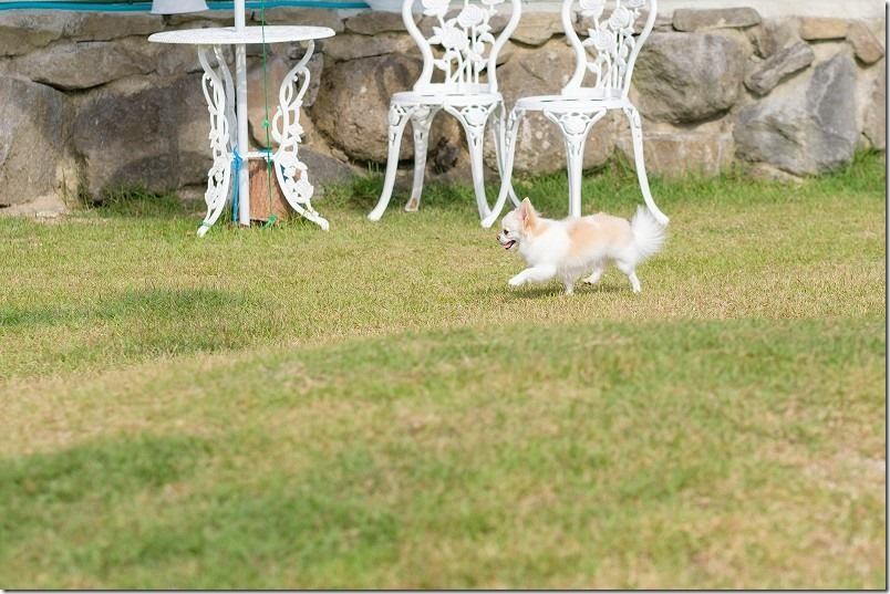 阿蘇、火の国ドッグランでチワワ・犬が走る
