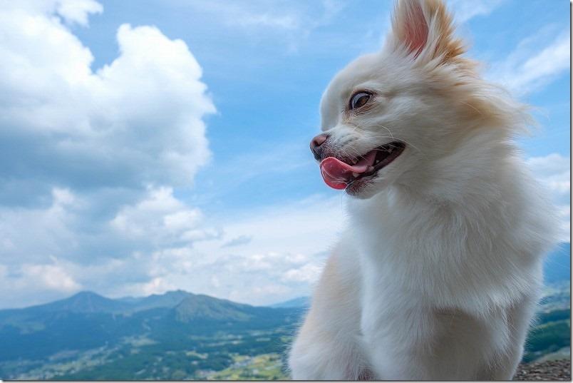 阿蘇と犬・チワワの「こむぎ」