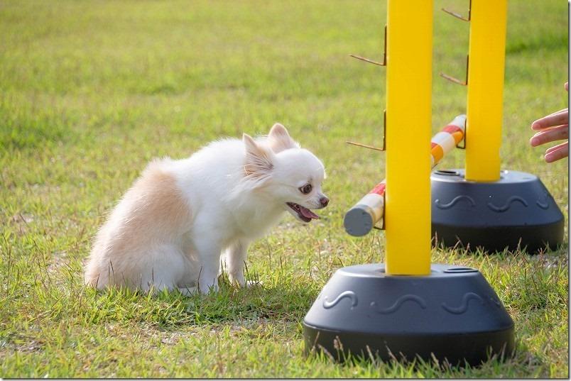 阿蘇、火の国ドッグランでチワワ・犬でジャンプバー